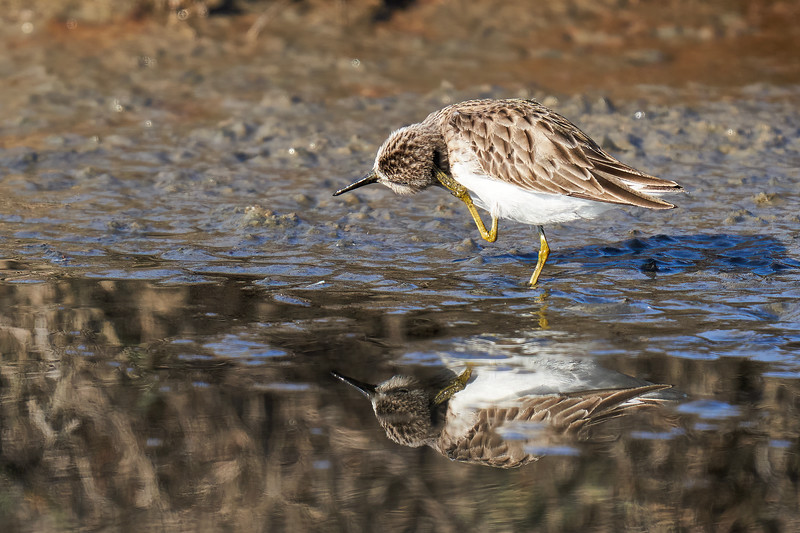 Least Sandpiper at Don Edwards Refuge (South Bay)