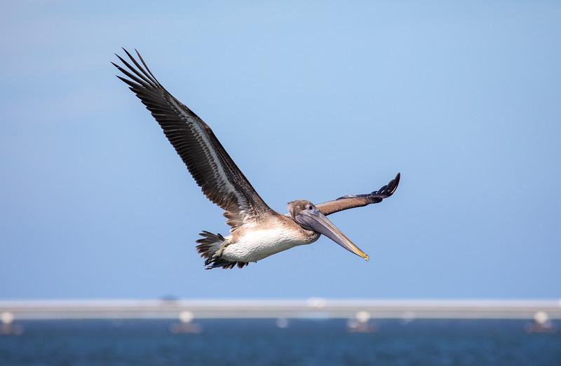 Brown-Pelican-4.jpg