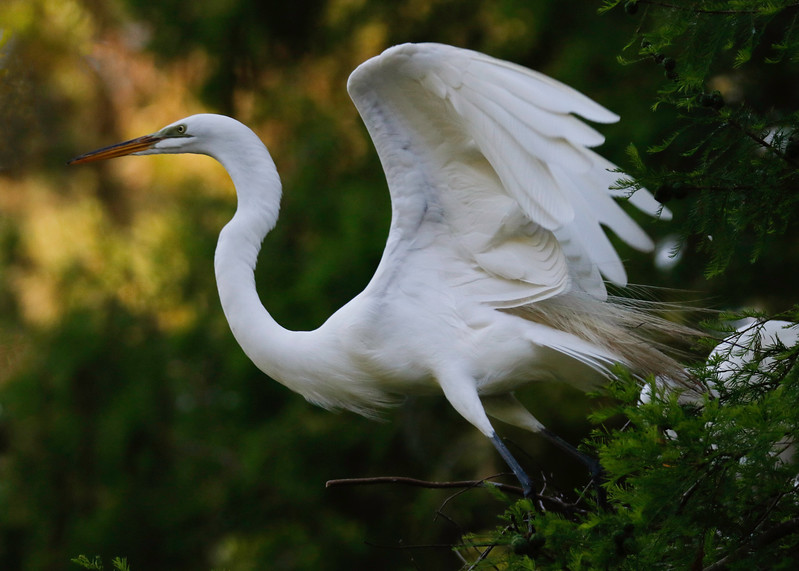 Egret Take off 57.jpg
