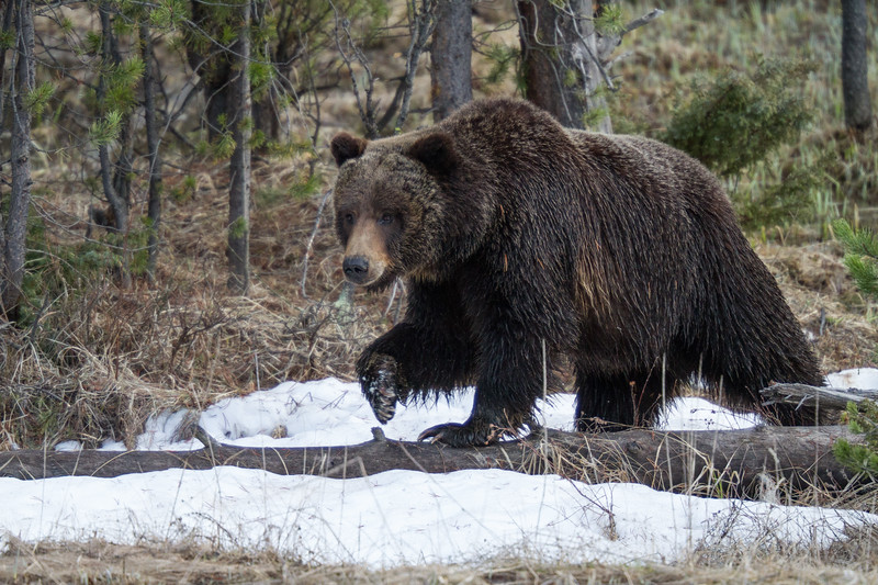 Grizzly bear boar male Yellowstone National Park WY IMG_0492.jpg