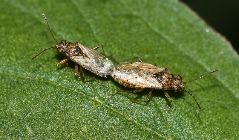 Mating plant bugs (Miridae) from Thailand.