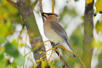 Waxwings, Silky Flycatchers