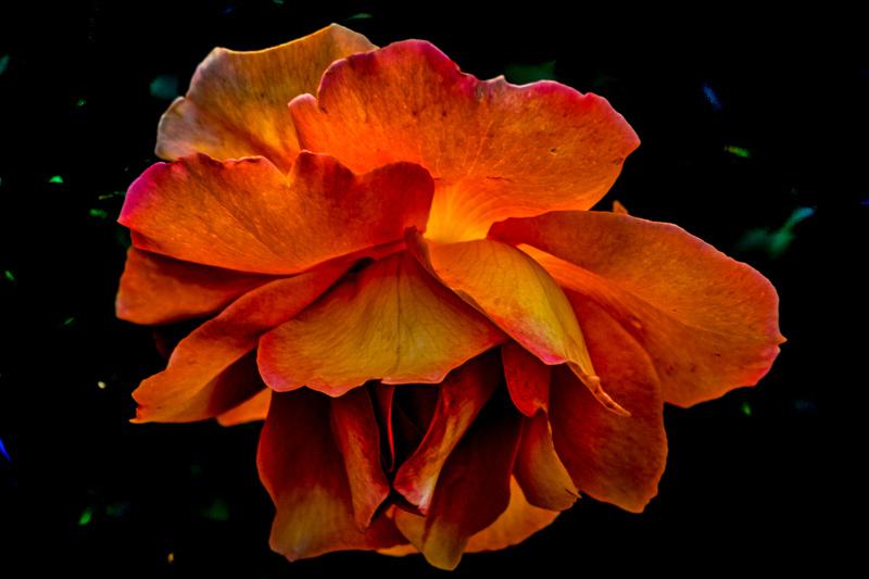 October 14 - Flaming atmospheric rose.jpg