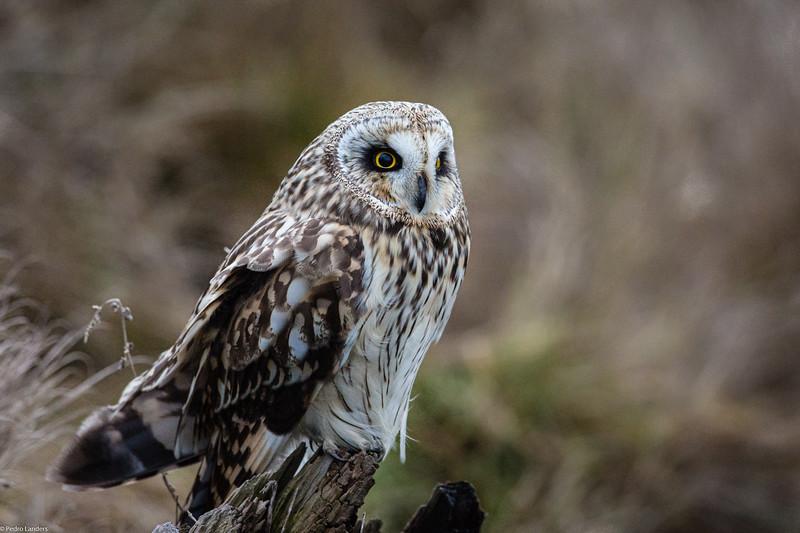 Short Eared Owl 38.jpg