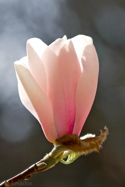 Magnolia-aeamador-0002.jpg