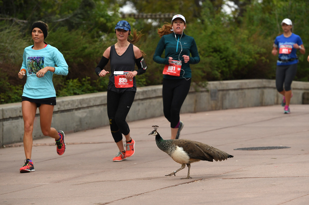 . DENVER, CO - MAY 15: A female peacock tries to cross the sidewalk in front of runners taking part in the half marathon who were making their way through the Denver Zoo, which was around the three mile marker of the 11th annual Colfax Half Marathon on May 15, 2016 in Denver, Colorado.  Thousands of runners took part in the annual springtime race which included a marathon, a marathon relay,  a half marathon and the urban 10 miler.  (Photo by Helen H. Richardson/The Denver Post)