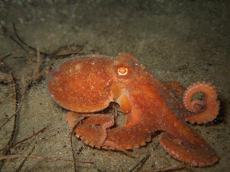 Penelope Foo Red octopus, Octopus rubescens vets park, oct 30th fuji F30, internal flash