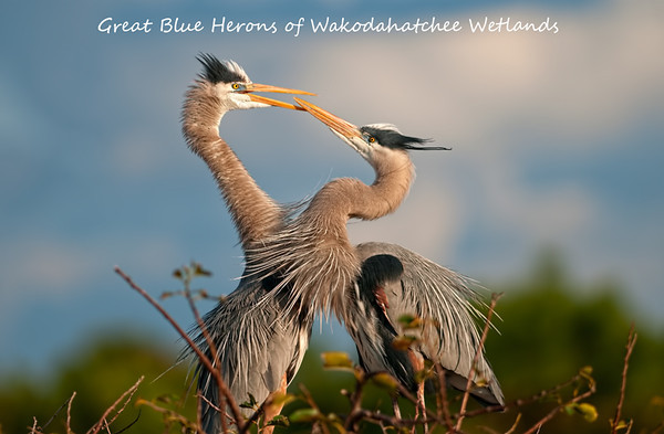 The Great Blue Herons of Wakodahatchee Wetlands