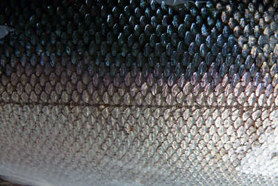 DAY 247 - September 4, 2011 - Coho Salmon Scales Cynthia Meyer, Tenakee Springs, Alaska