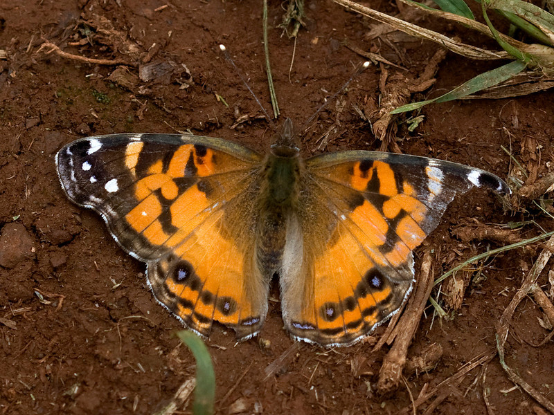 This butterfly is the American painted lady, Vanessa virginiensis (Drury, 1773) (Nymphalidae), which is native to North America but now nearly worldwide in distribution. Most of the dispersal is believed to be recent and aided by human travel, but this species-like many other Vanessa species--is migratory, so it's possible that some of its movement was natural. It's distantly related to the Kamehameha butterfly (Vanessatameamea Eschscholtz, 1821) (same genus but different subgenus, the admiral butterflies). The admirals, including Kamehameha, are bright red in life, not orange-red like the painted ladies.  (Info thanks to Frank Howarth, Entomology, Bishop Museum; April 2009)Copyright ©2009 by Philip A. Thomas.  Contact imagesbypt@philipt.com for permission to use.