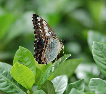 Krohn Conservatory 2008 Butterfly Show