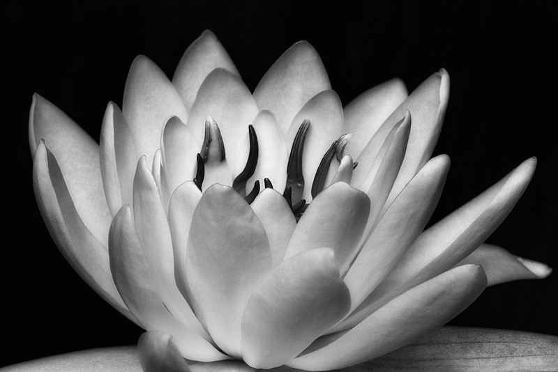 nenuphar-blanc-02-bw.jpg