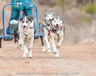 Sled Dogs - Lapine 11.13.16