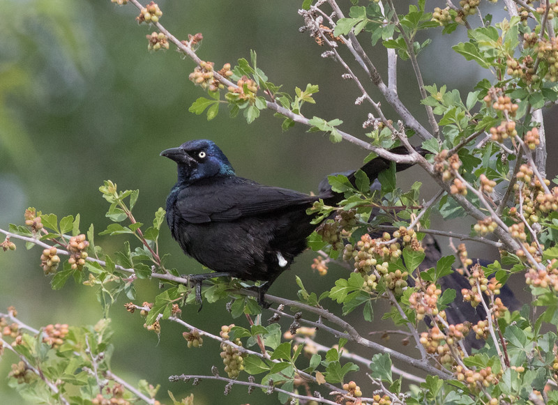 Common Grackle Barr Lake State Park 2019 06 23-3.CR2