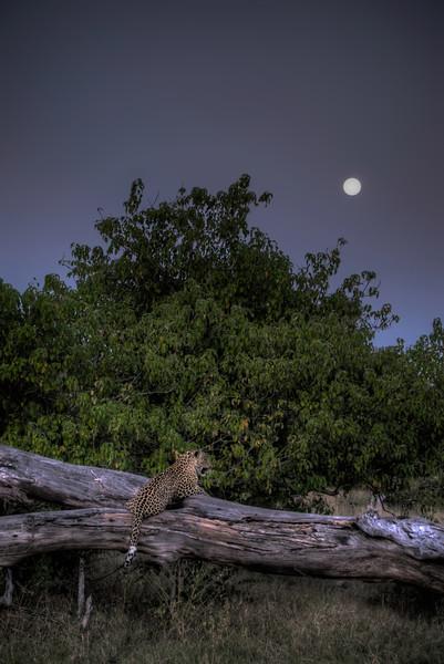 Mark-Fletcher-Moonlit Leopard.jpg