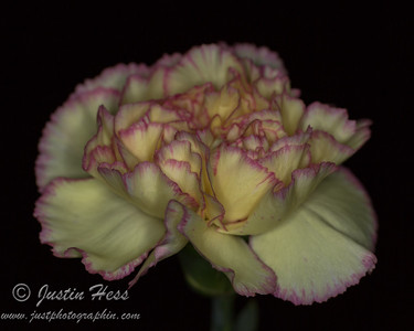 Mother's Day Carnation 05-11-2014