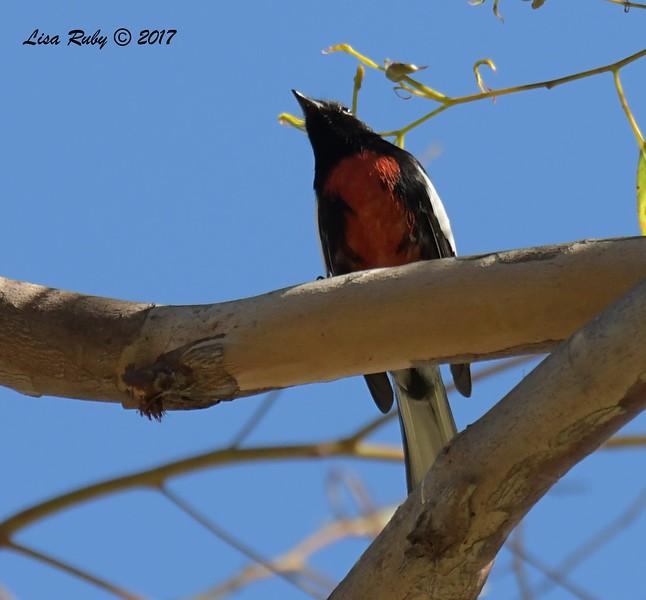 Painted Redstart  - 11/10/2017 - Crown Pointe (east)
