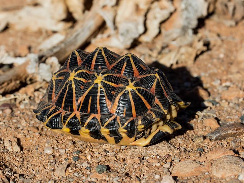 Western (Namaqualand) Tent Tortoise