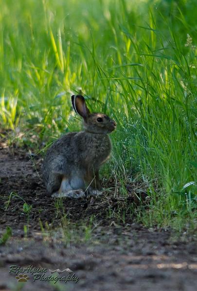 Snow-Shoe Hare