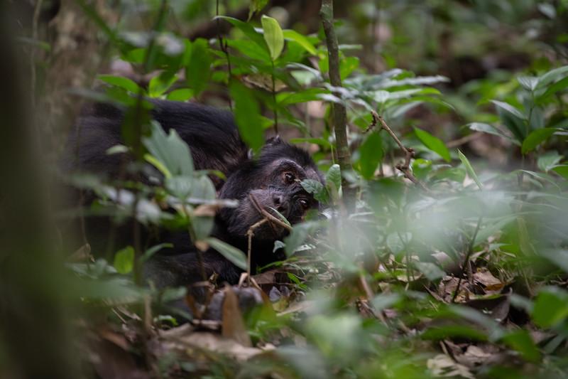 Uganda_T_Chimps-208.jpg