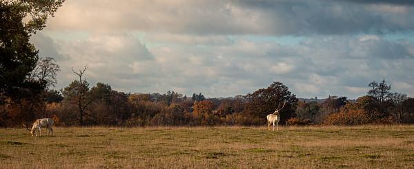 2019 - Deer at Knole Park November 007