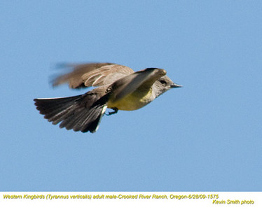 WesternKingbirdsM1575.jpg