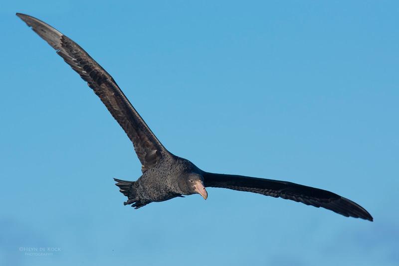 Northern Giant Petrel, Eaglehawk Neck Pelagic, TAS, May 2016-1.jpg