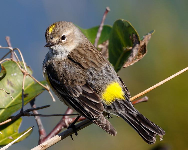 Yellow Rumped Warbler-6161.jpg