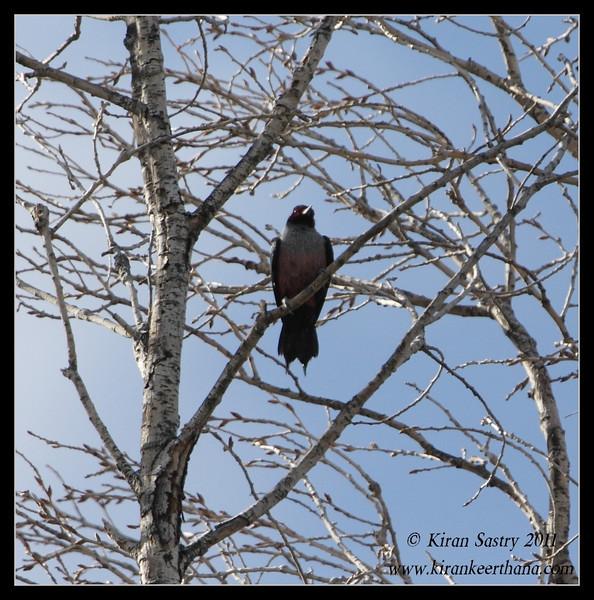 Lewis's Woodpecker near the Paton's feeders, Patagonia, Arizona, November 2011
