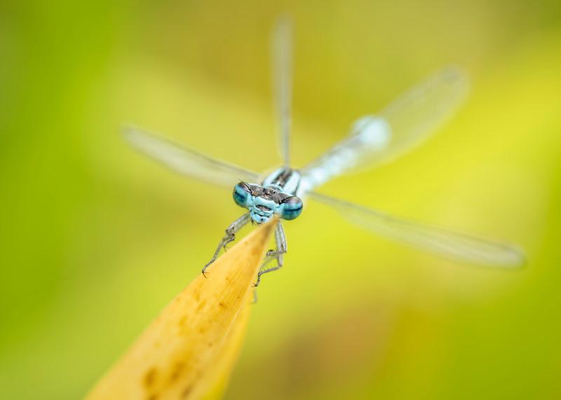 Common blue damselfly = eyes