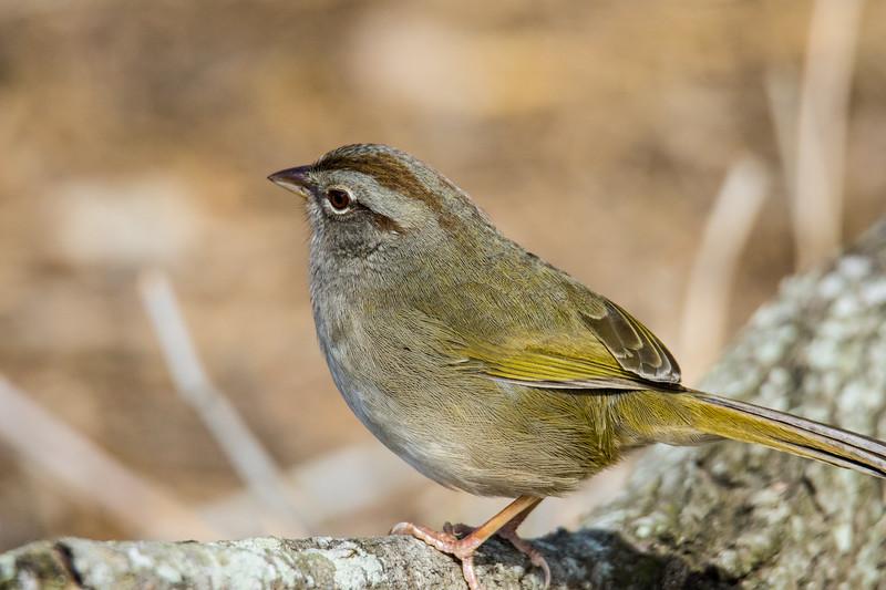 Olive Sparrow South Texas 2020-1.jpg
