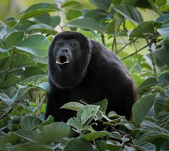 Geoff Shaw - Howler monkey