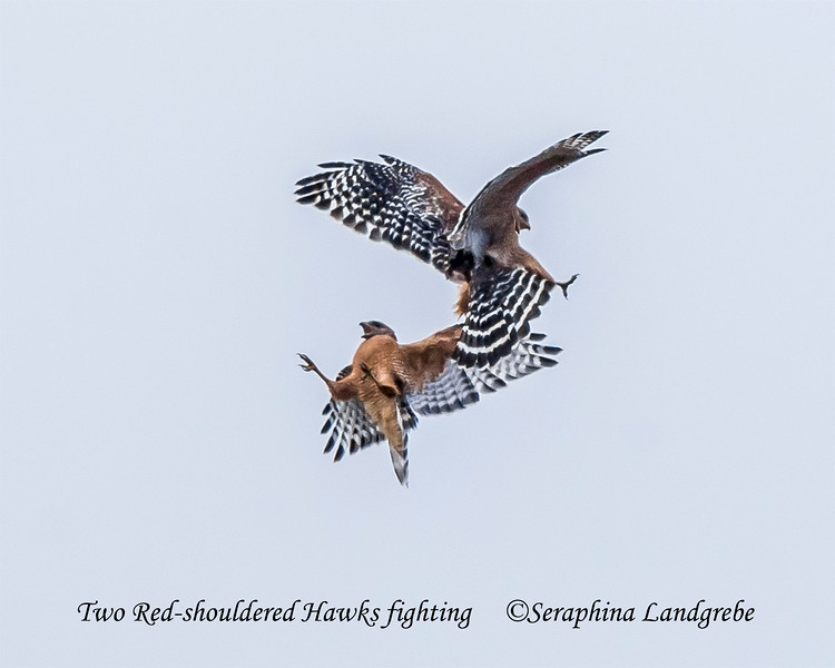 _DSC5643Two Red-shouldered Hawks fighting.jpg