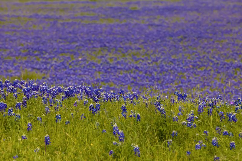 2015_4_3 Texas Wildflowers-7889-2.jpg