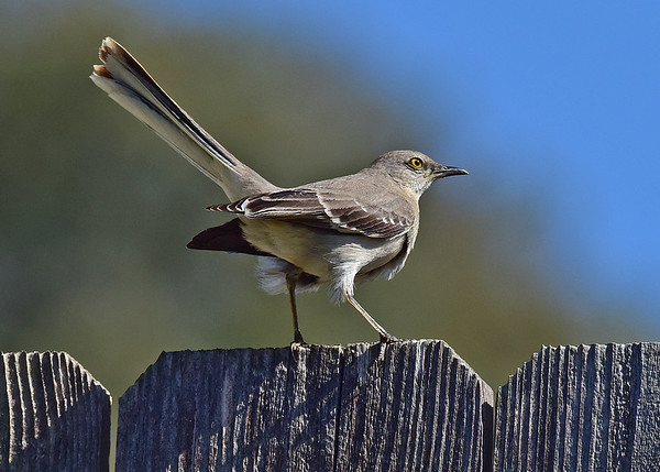Mockingbird, Northern