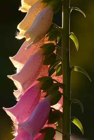 Foxglove Aglow - Vertical July 2013, Cynthia Meyer, Tenakee Springs, Alaska