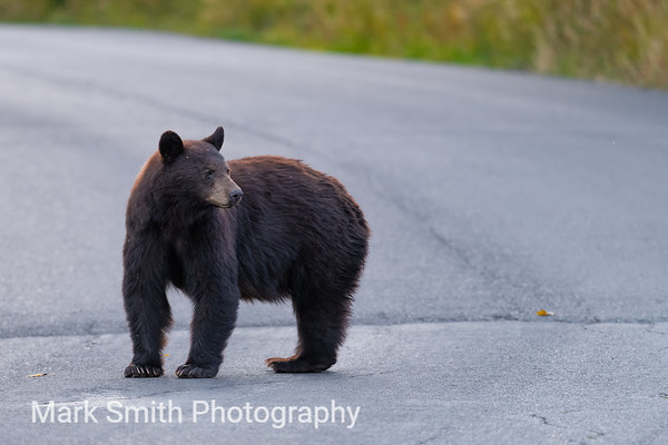Black Bear Image Gallery