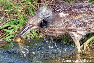 American Bittern, Ridgefield National Wildlife Refuge, USA