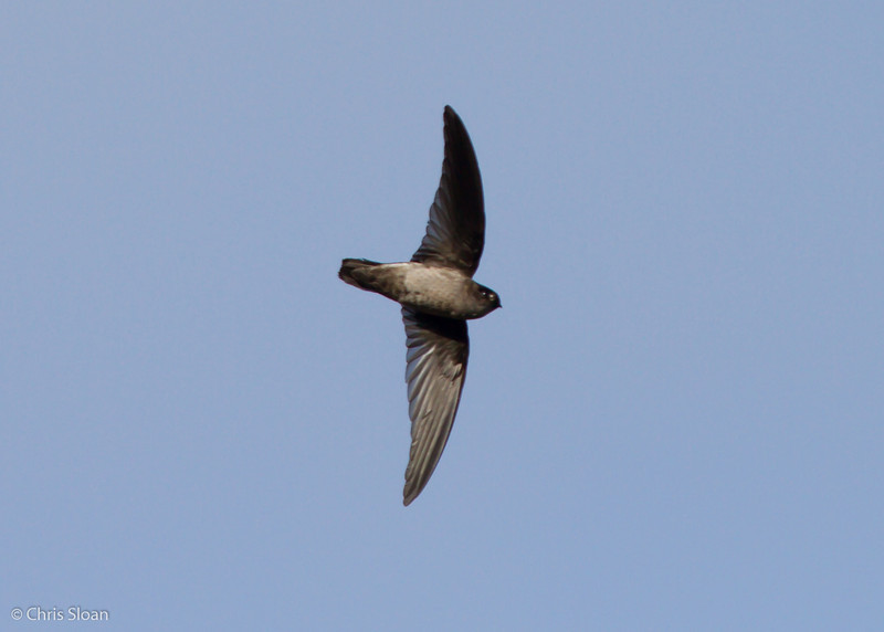 Mountain Swiftlet at Ambua Lodge, Papua New Guinea (10-06-2013) 1691.jpg