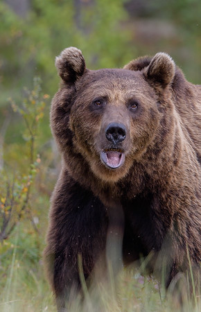 Brown Bears in Finland Aug-Sep 2017