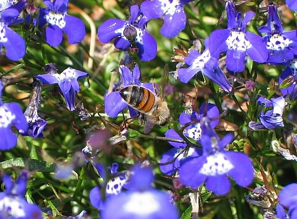 Blueflowerbee.JPG