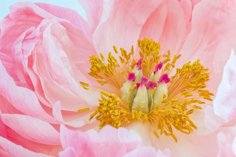 Fancy Pink Peony