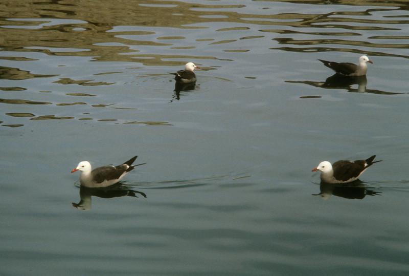 Heermann's Gull (Larus heermanni) Baja California, Mexico, 1980