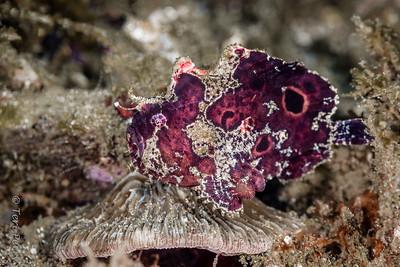 FISH - frogfish baby-3547-Edit