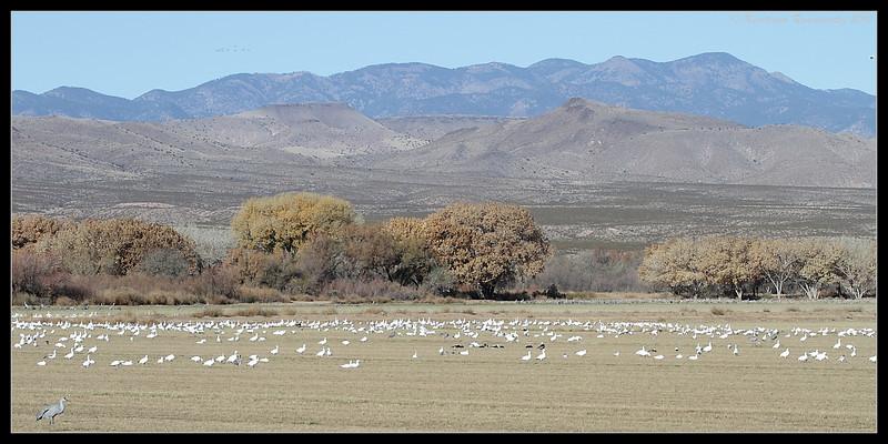 Snow Geese & Sandhill Cranes in the corn fields of Bosque Del Apache, Socorro, New Mexico, November 2010