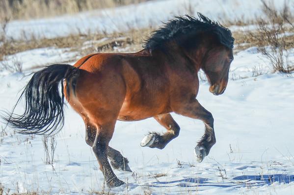 8 2013 Aug 20 Alberta Wild Stallion Painted by Diane Thoms