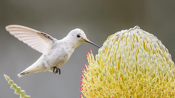 Leucistic Anna's Hummingbird, Arboretum UCSC