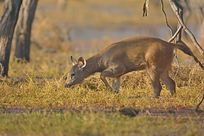 Sambar grazing in a marsh