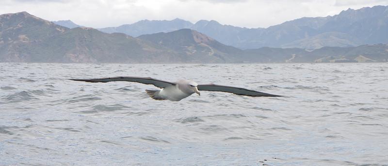 Salvin's Albatross Kaikoura, NZ December, 2010 IMG_8340