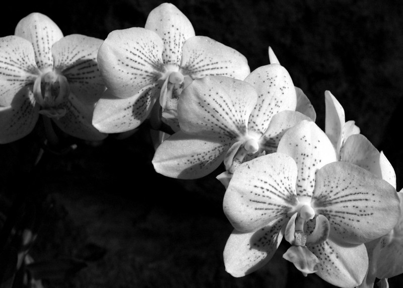 orchid5x7bw2.jpg